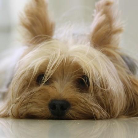 Terrier-prozac