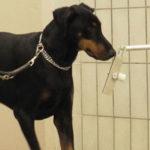 """Cancro al seno: """"diagnosi canine"""" esatte al 100%"""