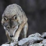 Dieci domande e dieci risposte sui lupi